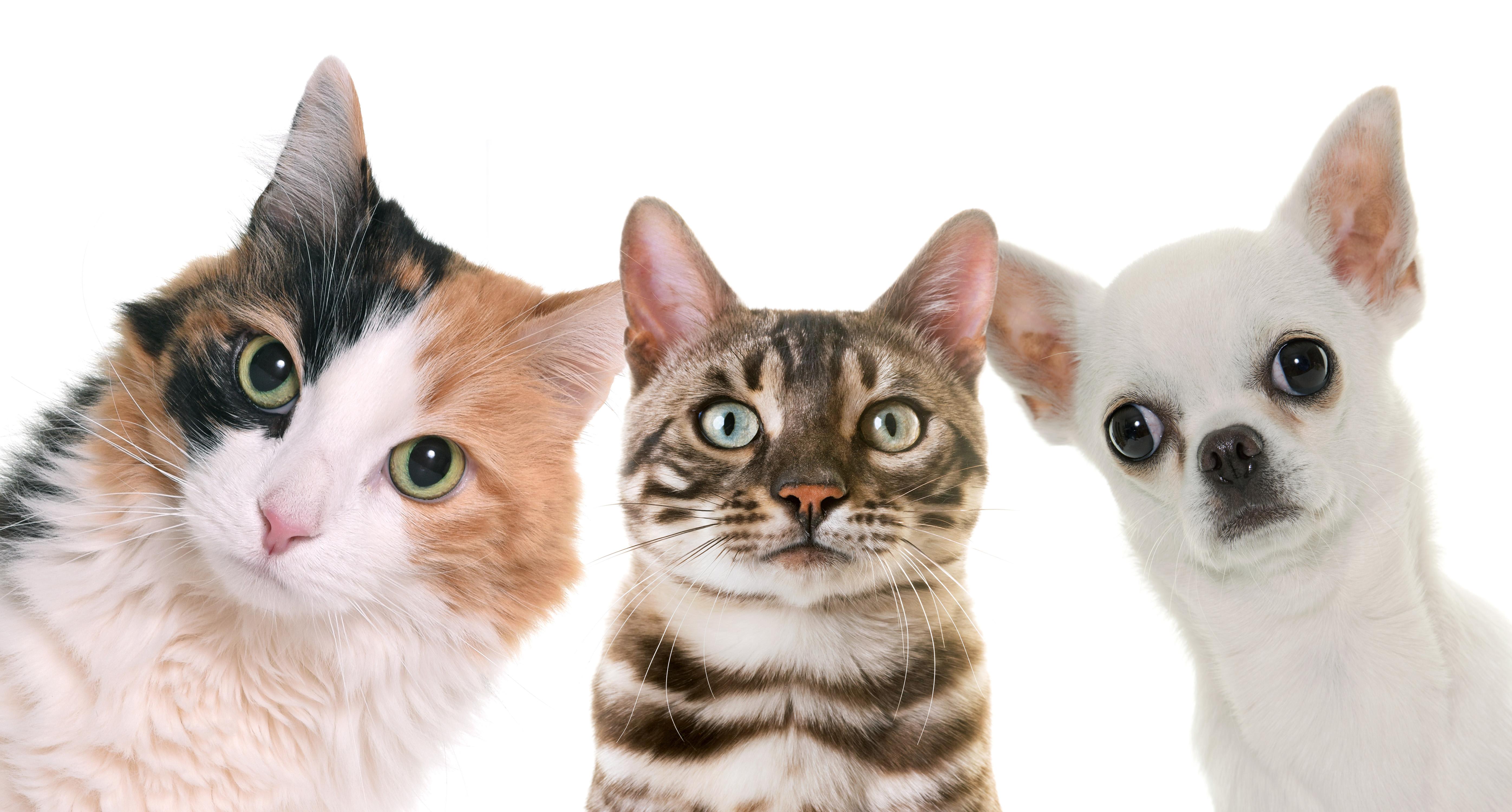Czym są pseudohodowle psów i kotów?